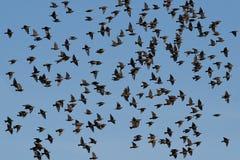 Common Starlings (Sturnus vulgaris) Royalty Free Stock Photo