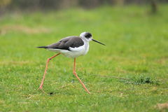 Common stilt Royalty Free Stock Image