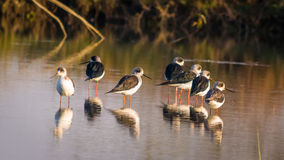 Seven black & White birds, Common Stilt  Stock Photo
