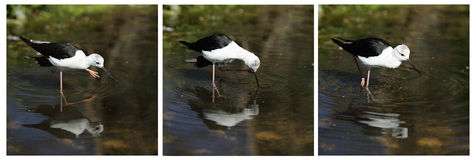Common Stilt, Himantopus himantopus Royalty Free Stock Photos