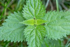 Common or Stinging Nettle, Urtica dioica, small plant macro, selective focus, shallow DOF. Green sprigs of nettle in the natural environment, folk medicine royalty free stock image