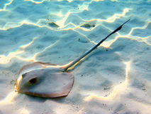 Common stingray. A little common stingray near to the beach in Fihalohi resort (Maldives Stock Photo