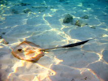 Common stingray in Maldives. A brown common stingray near the sand of the reef Royalty Free Stock Image