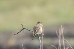 Common Stone Chat Female Bird Stock Photography