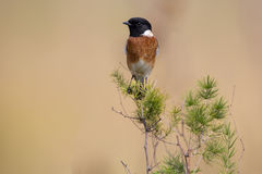 Common stone chat sit on a twig on lovely soft brow background. Common stone chat sit on a twig on a lovely soft brow background Royalty Free Stock Photos