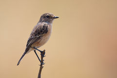 Common stone chat sit on a twig on lovely soft brow background Royalty Free Stock Photography