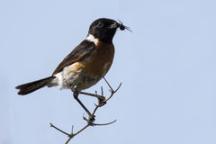 Common stone chat sit on a twig on lovely soft brown background Stock Images