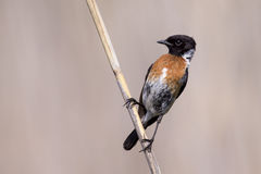 Common stone chat sit on a twig on lovely soft brown background. Common stone chat sit on a twig on a lovely soft brown background Stock Photos