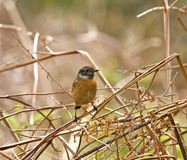 Common Stonechat Stock Images
