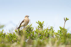 Common Stonechat. A Common Stonechat o a tree Stock Photos