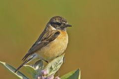 Common Stonechat or Asian Stonechat Stock Photos