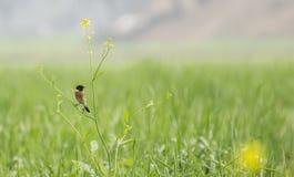 Common Stonechat Bird Stock Images