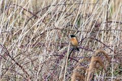 Common Stonechat Saxicola rubicola. At Portland Bill Dorset Stock Image