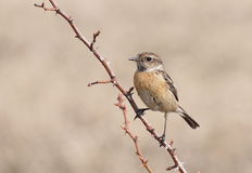Common Stonechat, Saxicola torquata Stock Images