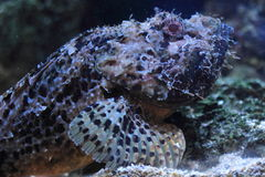 Common stonefish Royalty Free Stock Photo