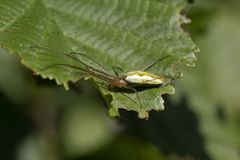 Common stretch spider, long-jawed orb-weaver spider, Tetragnatha extensa, walking and resting on a leaf on a sunny day, scotland. stock photography