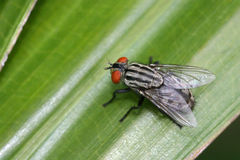 Common striped fly Stock Photo