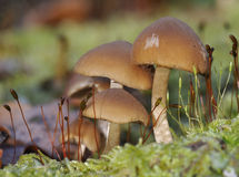 Common Stump Brittlestem Fungus Stock Photography