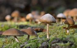 Common Stump Brittlestem Fungus Royalty Free Stock Photos