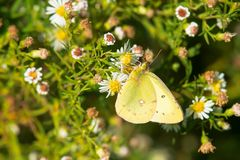 Common Sulphur Butterfly - Colias philodice. Common Sulphur Butterfly collecting nectar from tiny white flowers. Humber Bay Park, Toronto, Ontario, Canada stock images