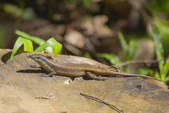 Common Sun Skink Stock Photography