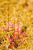 Common sundew Royalty Free Stock Images