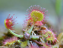 Common Sundew Stock Photo