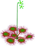 Common sundew - Drosera rotundifolia Stock Photography