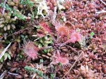 Common  Sundew plant in swamp Stock Photography