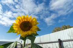 Common sunflower blossoms in the kitchen garden on the background of the fence in a sunny day. Summer landscape. Common sunflower blossoms in the kitchen garden royalty free stock photo