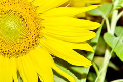 Common Sunflower Royalty Free Stock Image