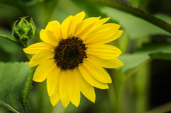 Common Sunflower - Helianthus annuus Stock Photography