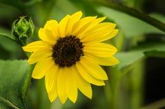 Common Sunflower - Helianthus annuus Stock Photography