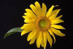 Common sunflower & x28;Helianthus annuus& x29; inflorescence royalty free stock image