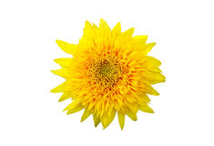 Common Sunflower Helianthus annuus Royalty Free Stock Photos