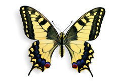 Common Swallowtail (Papilio machaon) Royalty Free Stock Photography