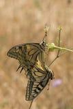 Common Swallowtails - Papilio Machaon Stock Photo