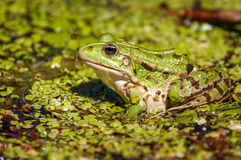 Common swamp frog Royalty Free Stock Photo