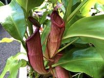 The common swamp pitcher-plant Nepenthes mirabilis, Wunderliche Kannenpflanze