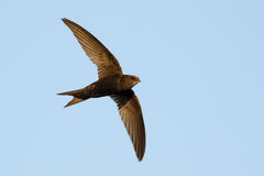 Common Swift. In flight over blue sky Royalty Free Stock Photo