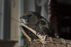 Common swift (Apus apus) Stock Images