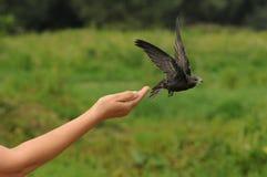 Common swift bird (Apus apus) Stock Image