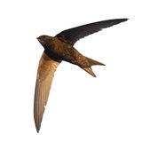 Common Swift Royalty Free Stock Photography