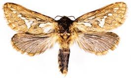 Common Swift Moth on white Background Royalty Free Stock Photos