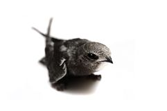 Common Swift on white Royalty Free Stock Photo