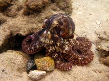 Common Sydney Octopus Stock Photo