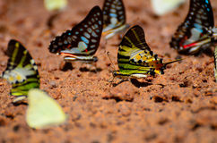 The Common Tailed Judy Royalty Free Stock Images