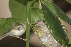 Common Tailor bird Orthotomus sutorius feeding the baby bird.  royalty free stock photo