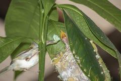 Common Tailor bird Orthotomus sutorius feeding the baby bird in the nest on the tree royalty free stock photo