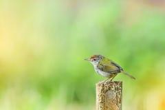Common Tailor - bird. Wren caught on a stump green backdrop stock photography